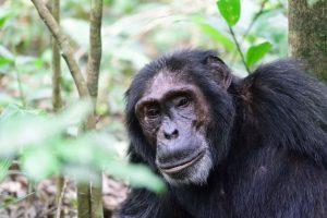 Rwanda Chimpanzee Trekking Tour