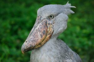 Mabamba Swamp Shoebill Tour
