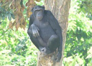 Ngamba Island Chimpanzees Day Tour