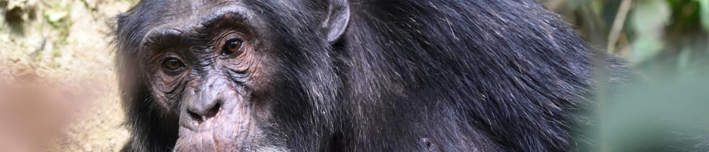 Uganda Primates and Big Game Safari